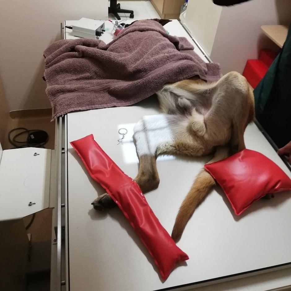 Šuns ar kito gyvūno rentgeninis tyrimas