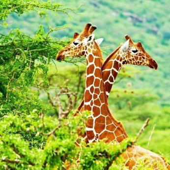 Kokį garsą skleidžia žirafos? Tai jus nustebins