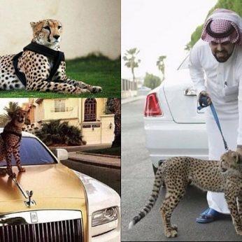 Turtais aptekę arabų šeichai gepardus augina kaip šunis