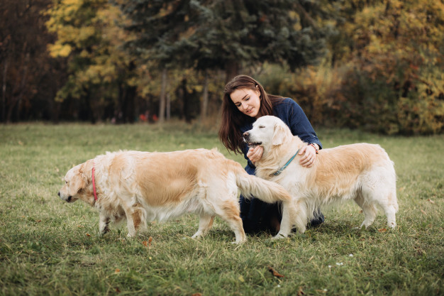 Šunų veislė Auksaspalvis retriveris