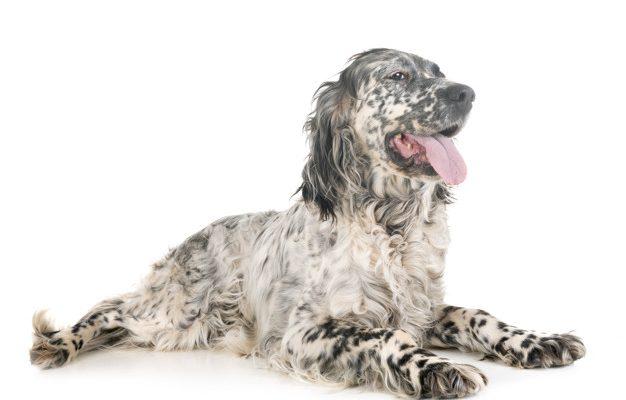 Šunų veislės: Anglų seteris ( English Setter) - iš prigimties meilus ir ramaus charakterio šuo