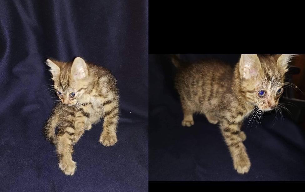 Dovanojamas 1.5 mėnesio kačiukas Vilniuje