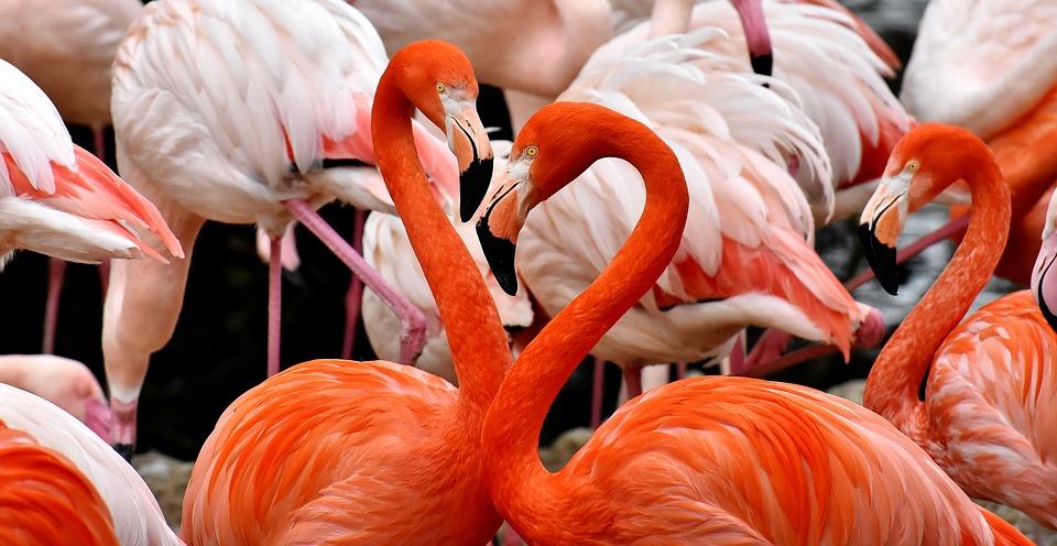Flamingai yra ilgakojai paukščiai rožinės spalvos plunksnomis