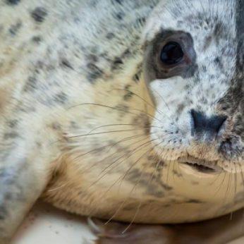 Jūrų muziejuje slaugomi ruoniukai ruošiami grįžti į gimtuosius vandenis
