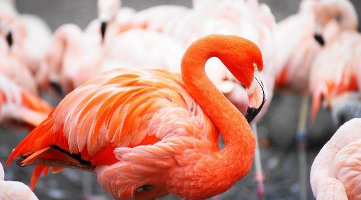Kodėl flamingai yra rožinės spalvos Nepatikėsite