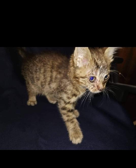 Dovanojamas mažas kačiukas Vilniuje