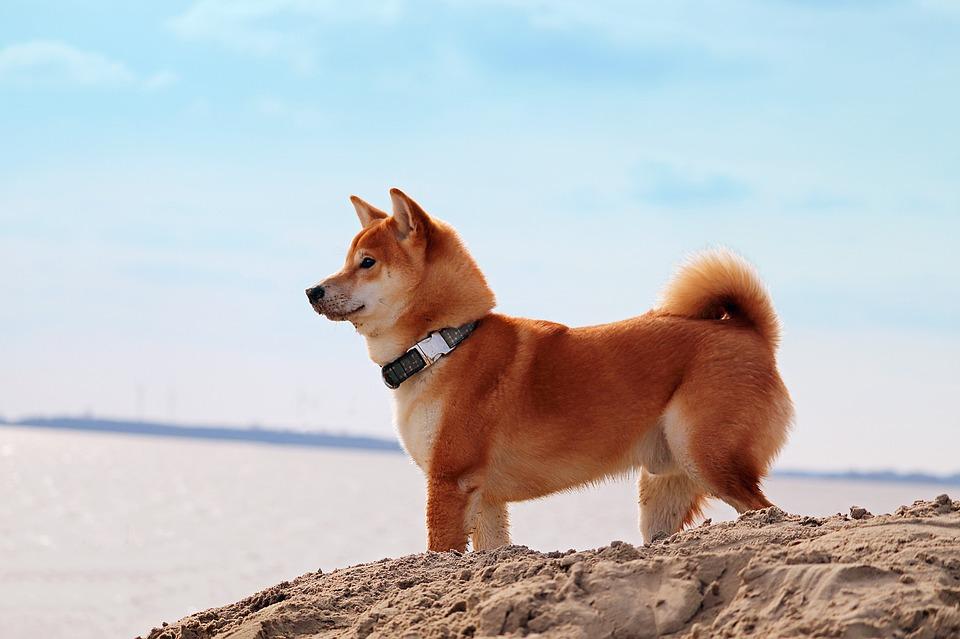 Shiba Inu veislės šunys
