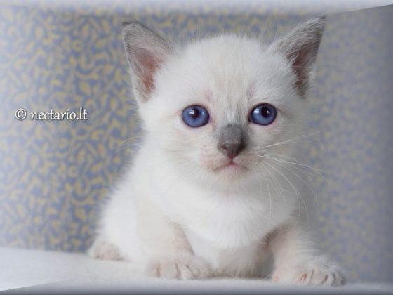 Tajų veislės Blue point kačiukas rezervacijai ir pardavimui