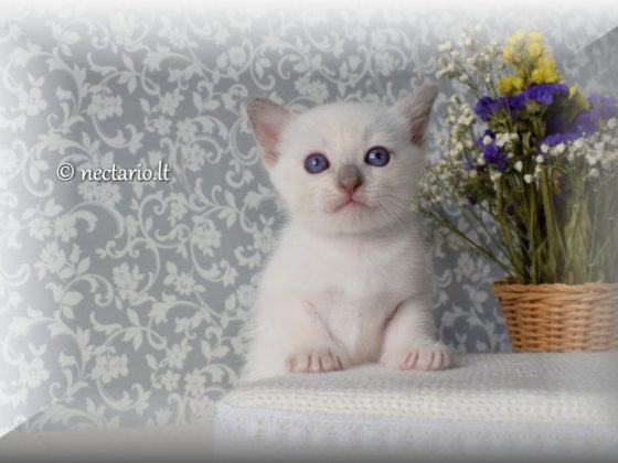 Tajų veislės Lilac point berniukas rezervacijai