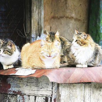 Vyriausybė nori atsikratyti laukinių kačių ėmėsi neįtikėtinų priemonių