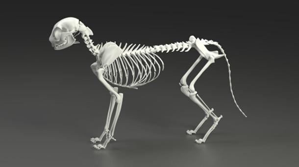Ar žinote kiek kaulų turi katė