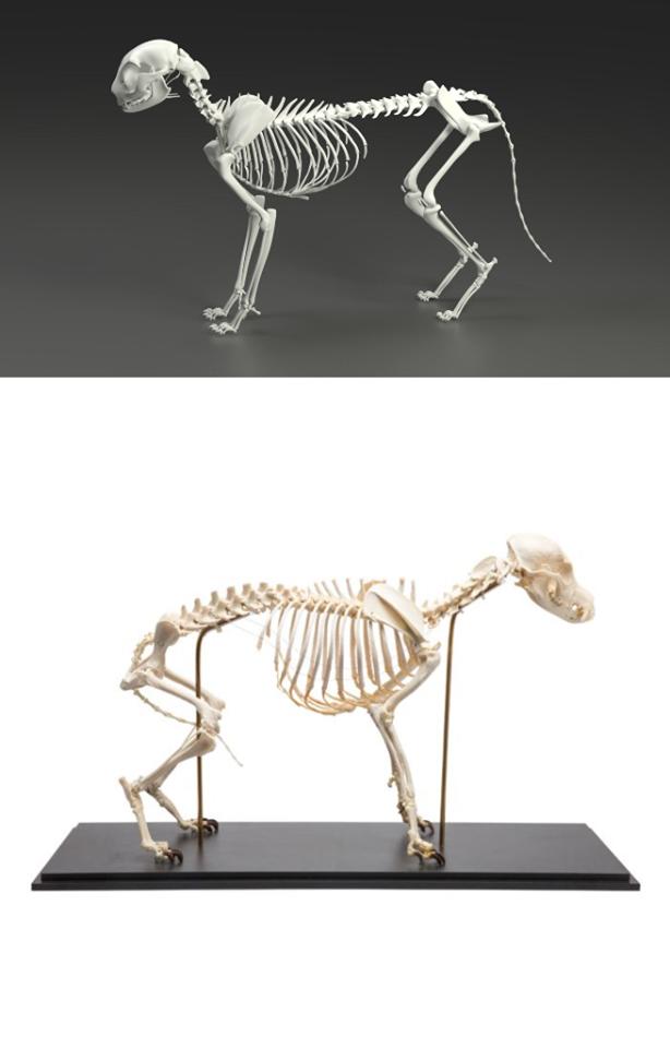 Ar žinote kiek kaulų turi katė?