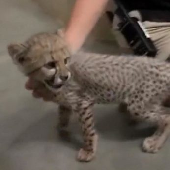 Gepardo elgesys su zoologijos sode gyvenančiu šunimi stebina ne vieną