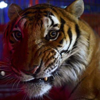 Lenkijos pasienyje įstrigo devynių tigrų siunta, vienas jau nugaišo