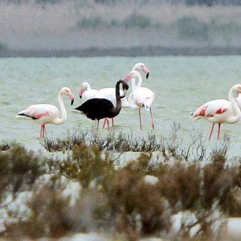 Paslaptingasis juodasis flamingas: kuo ypatingas šis gyvūnas?