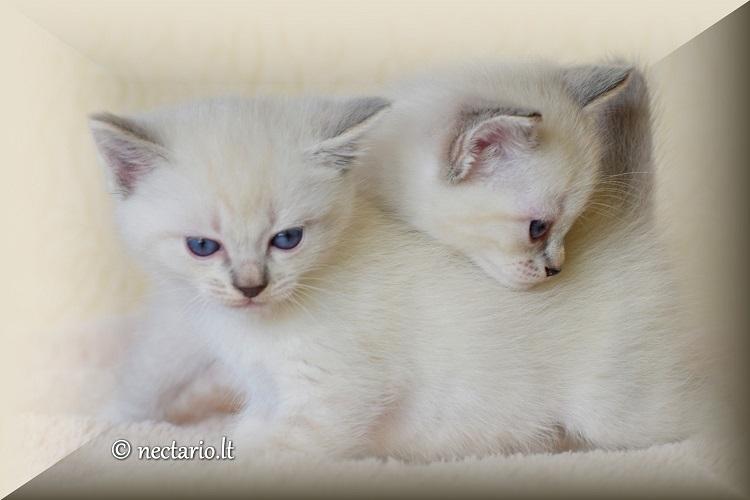 Seal tabby point katytė Jerubė ir blue tabby point katinėlis Jarilo - pirmieji tabby kačiukai, gimę Lietuvoje.