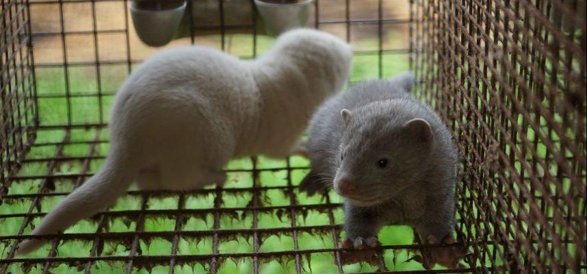 Slovakijoje uždraustas gyvūnų auginimas dėl kailio