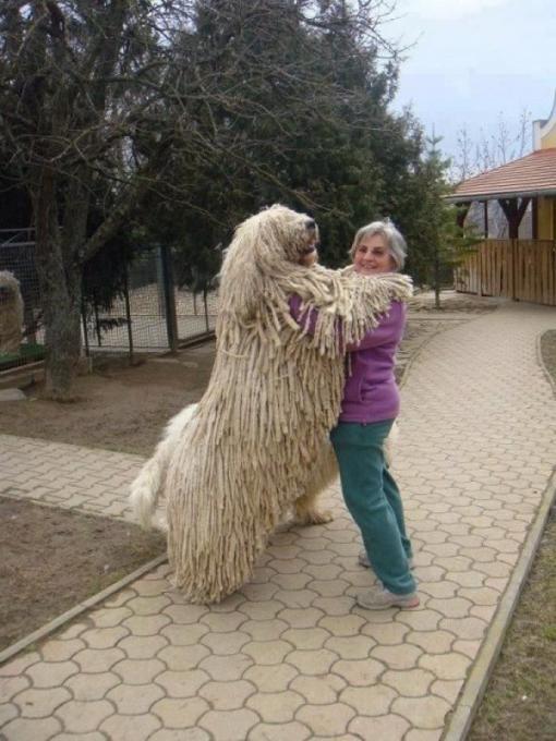 Komondoras - išskirtinės išvaizdos šuo