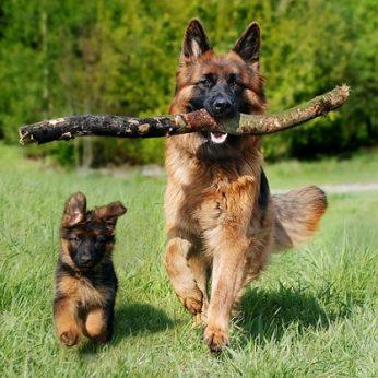 Šunų veislės: Vokiečių aviganis ( German Shepherd ) - drąsūs, tvirto charakterio, vienas iš populiariausių šunų veislių