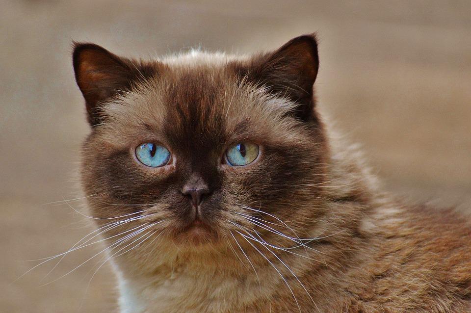 Britų trumpaplaukė katė su šokolado spalvos žymėmis