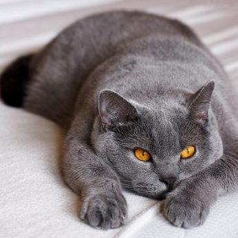 Britų trumpaplaukių kačių veislės kailio spalvų įvairovė