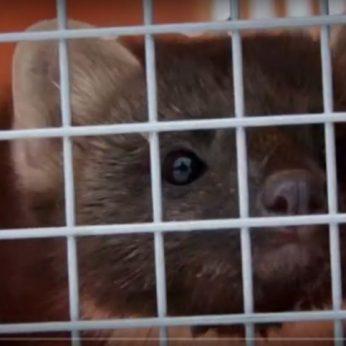Gyvūnų gynėjai siūlo 1000 eurų kailių fermeriams