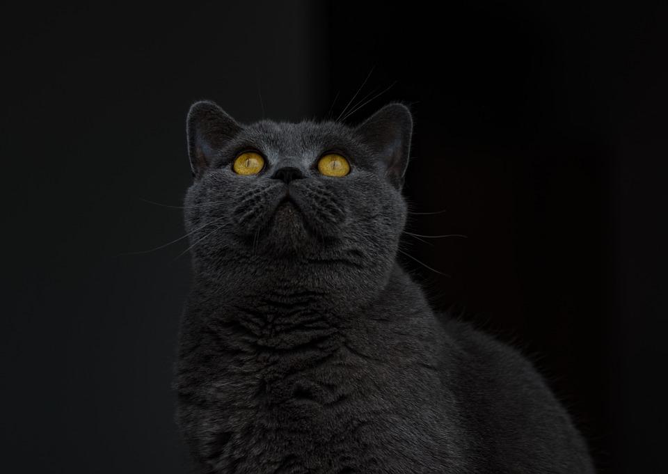 Juoda britų trumpaplaukė katė