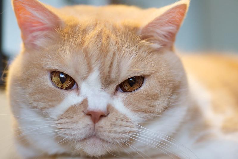 Kreminė marga britų trumpaplaukė katė