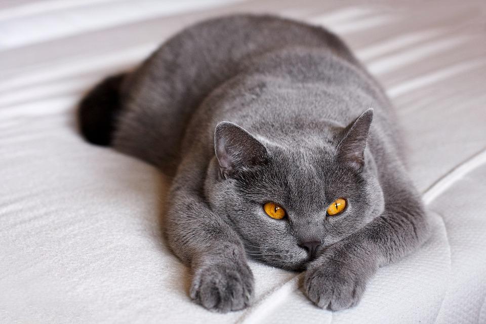 Melsva britų trumpaplaukė katė