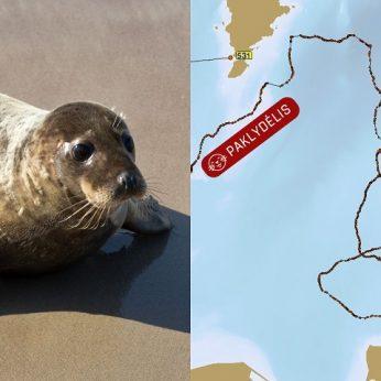 Paaiškėjo, kur Baltijos jūroje nuplaukė paleisti ruoniai vieno likimas pasibaigė liūdnai