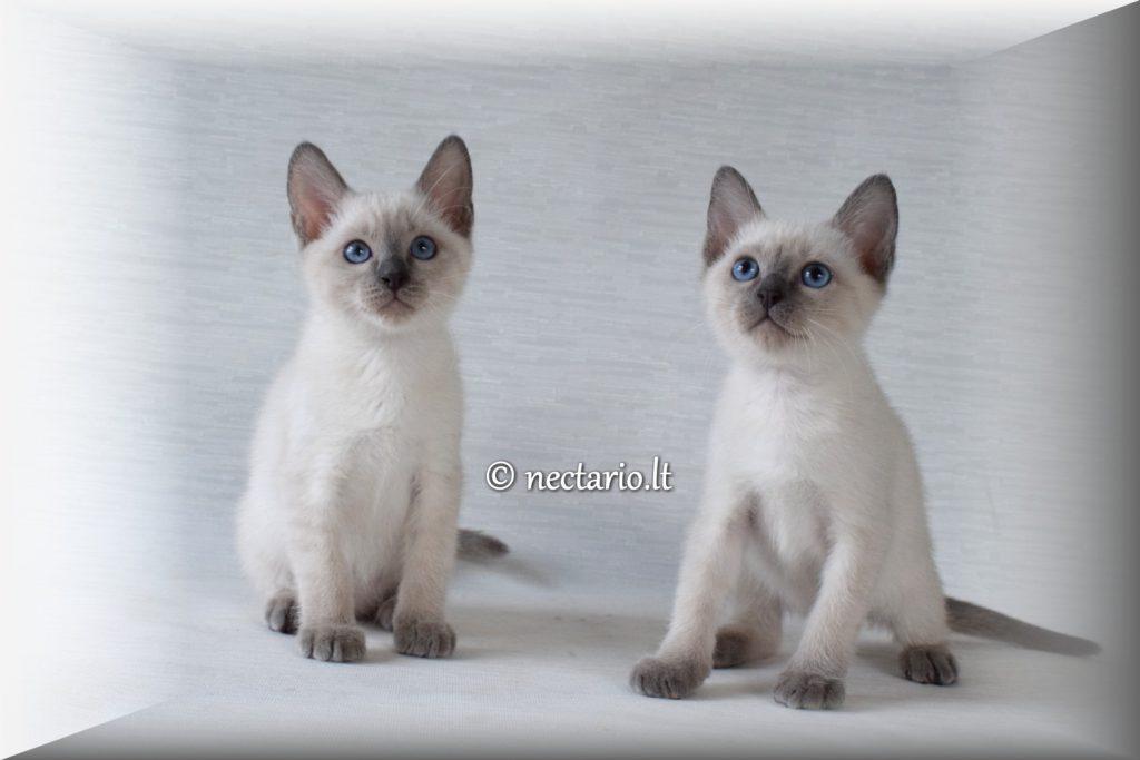 Parduodami tailando veislės blue point kačiukai