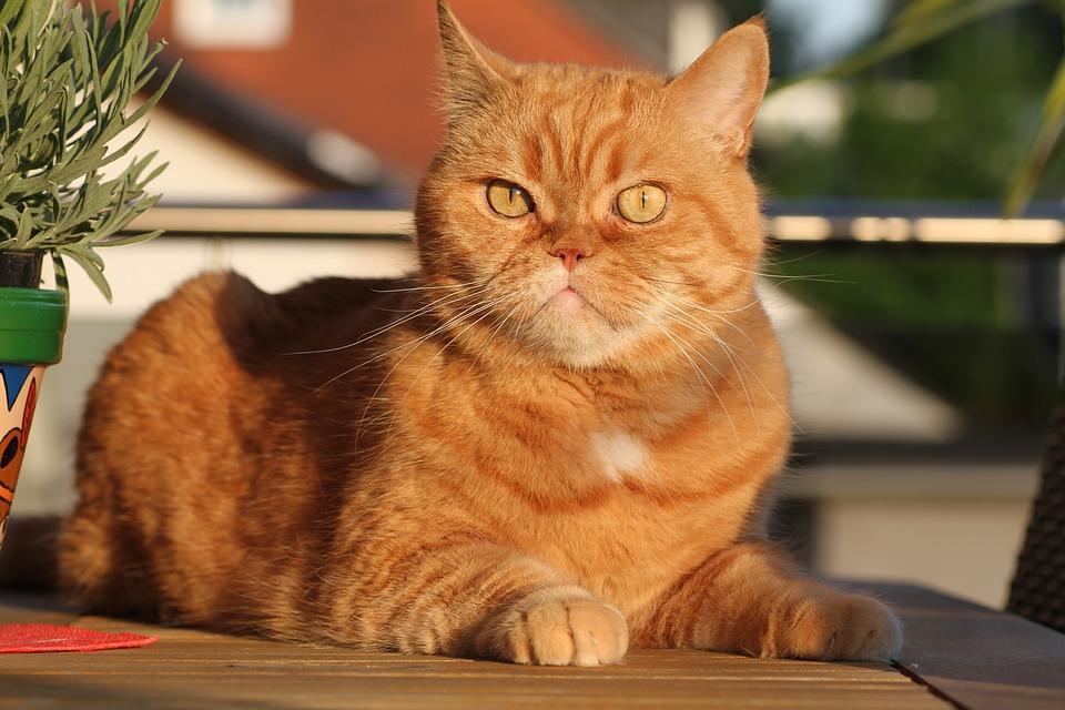 Rausvo marmuro piešinio britų trumpaplaukė katė