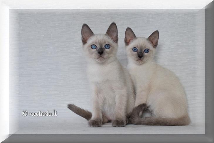 Rudeniškai palijo sidabru - daug daug blue point kačiukų