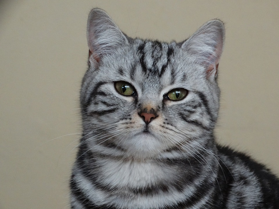 Sidabraspalvė juodo marmuro piešinio britų trumpaplaukė katė