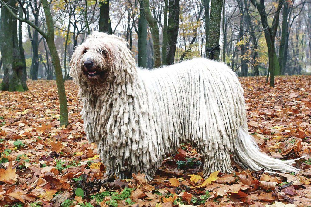 Suaugusio šios veislės šuns nesupainiosi su jokiu kitu, nes jis išsiskiria gaurais.