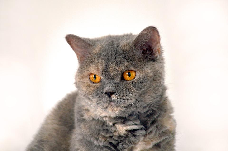Vėžlio kiauto piešinio britų trumpaplaukės katės
