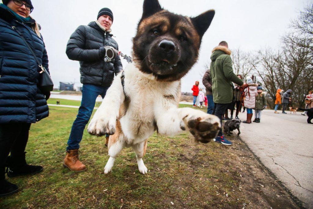 Šeimininkai su šunimis susitiko prie Kauno pilies, nužygiavo iki Rotušės aikštės. Čia visi drauge nusifotografavo ir grįžo į Nemuno ir Neries santaką, kur bendravo ir žaidė. G.Bitvinsko nuotr.