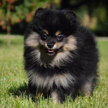 Šunų veislės: Vokiečių mažasis špicas (German Spitz Klein) - linksmas ir ištikimas mažasis draugas