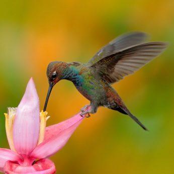 Kolibriai - Europoje Nauji radiniai paneigia tai, ką apie šiuos paukščius galvojome iki šiol
