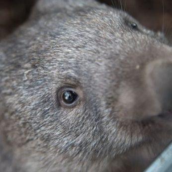 Per Australijos gaisrus vombatai išgelbėjo daugybę gyvūnų