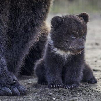 Telšiuose steigiamas pirmasis Lietuvoje meškų rezervatas