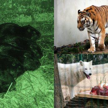 Šiaulių r. konfiskuoti 52 invaziniai gyvūnai bus sušerti zoologijos sodo plėšrūnams