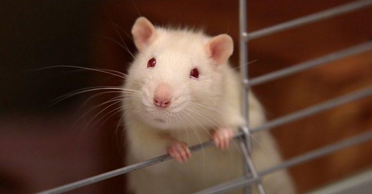 Ką reikia žinoti apie dekoratyvinių žiurkių auginimą