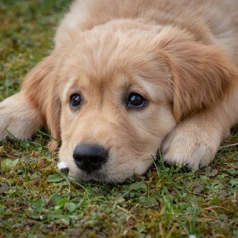 Ar mano šuo turi helmintų, kaip gydyti šuns kirmėles