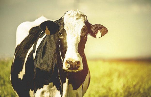 Atkakli karvė ištrūko iš mirties nasrų ir išsikovojo teisę gyventi