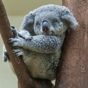 Koalos – mieli, bet ne itin protingi gyvūnai?
