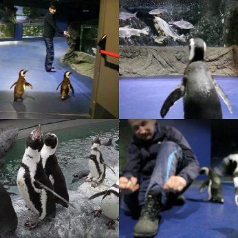 Lietuvos jūrų muziejuje prižiūrėtojai paleido pingvinus pasivaikščioti ten, kur dar nėra buvę