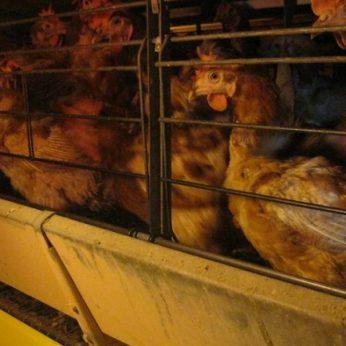 Prieš žvėriškas sąlygas verslai masiškai atsisako narvuose laikomų vištų kiaušinių
