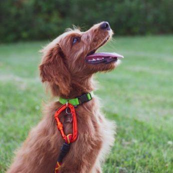 Tinkama šuns dresūra – ką reikia žinoti?