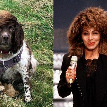 Internautai krykštauja juokais springerspanielio šukuoseną palygino su Tinos Turner